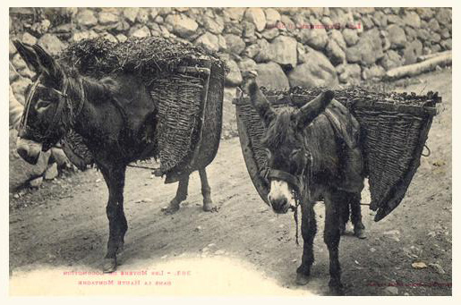 Ânes servant au transport